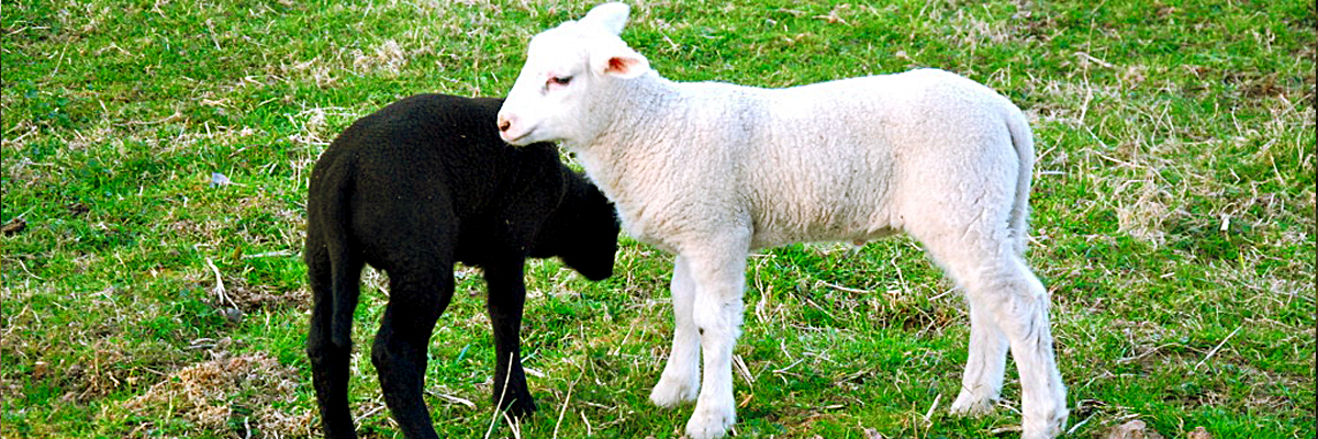 2 baby sheeps