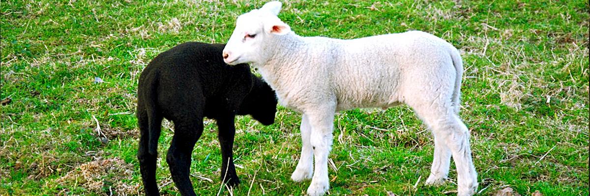 Black lamb next to a white lamb