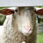 Sheep behind a fence