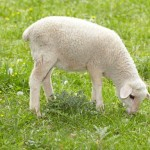 Lamb grazing in a pasture
