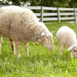 Two sheep grazing in a pen
